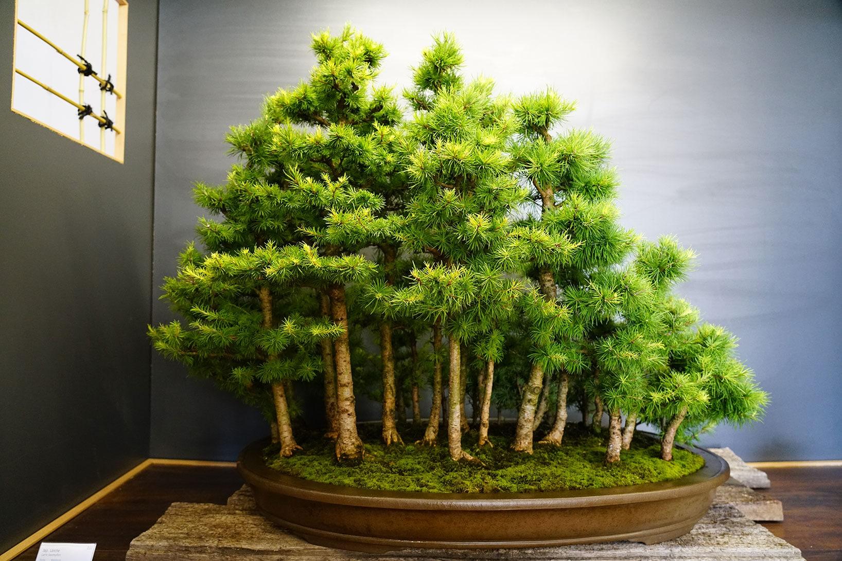 Bonsai-106