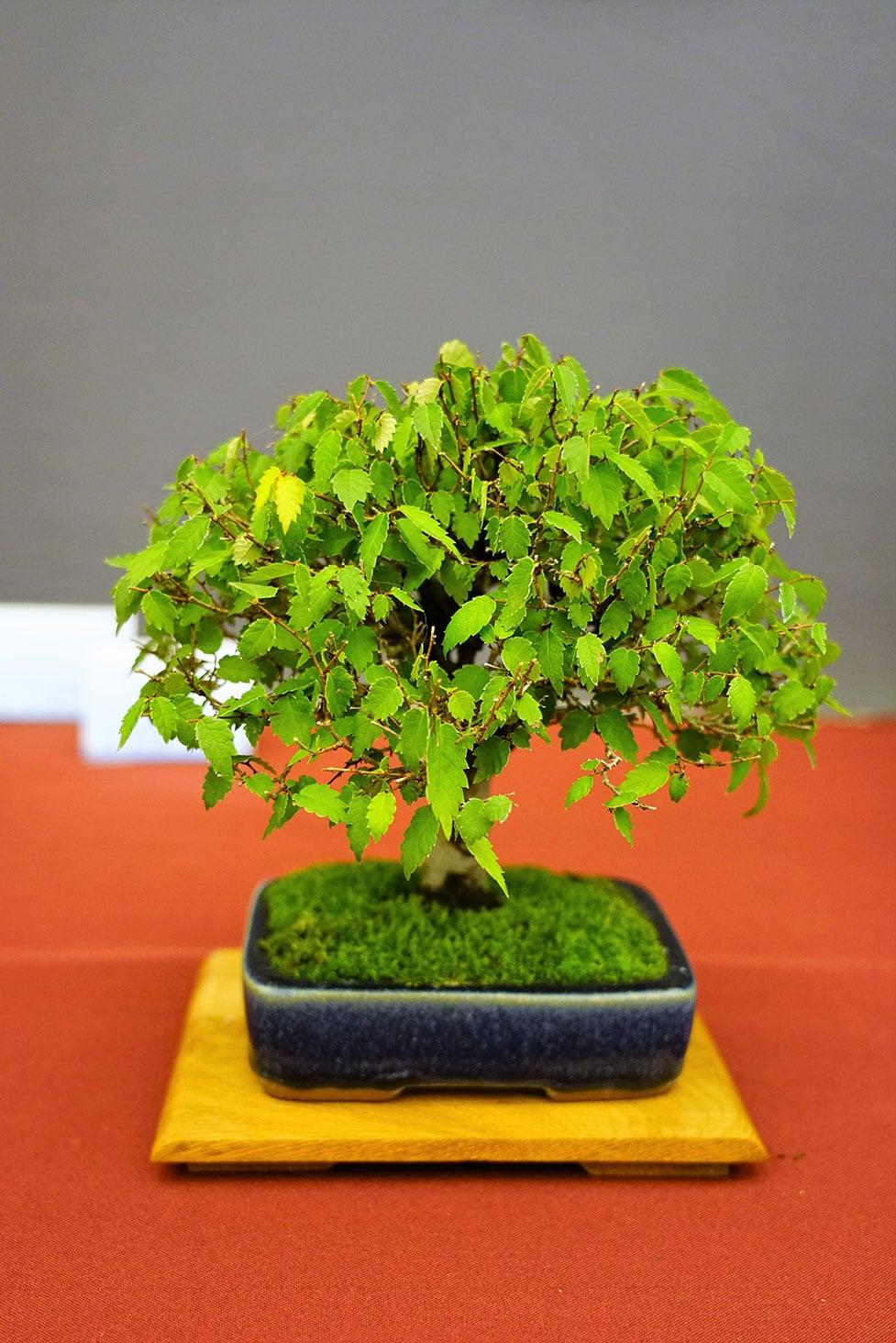 Bonsai-278