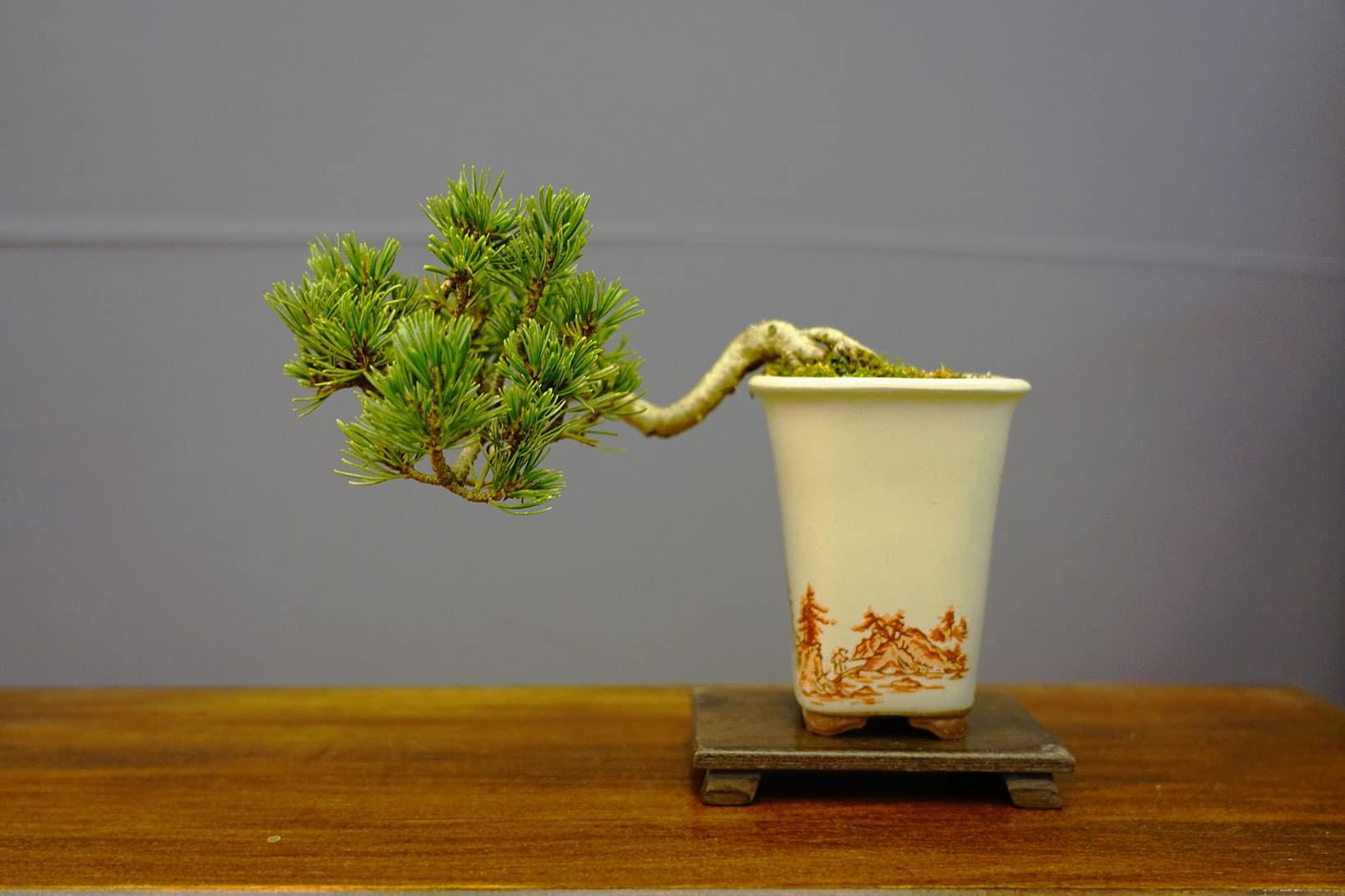 Bonsai-285