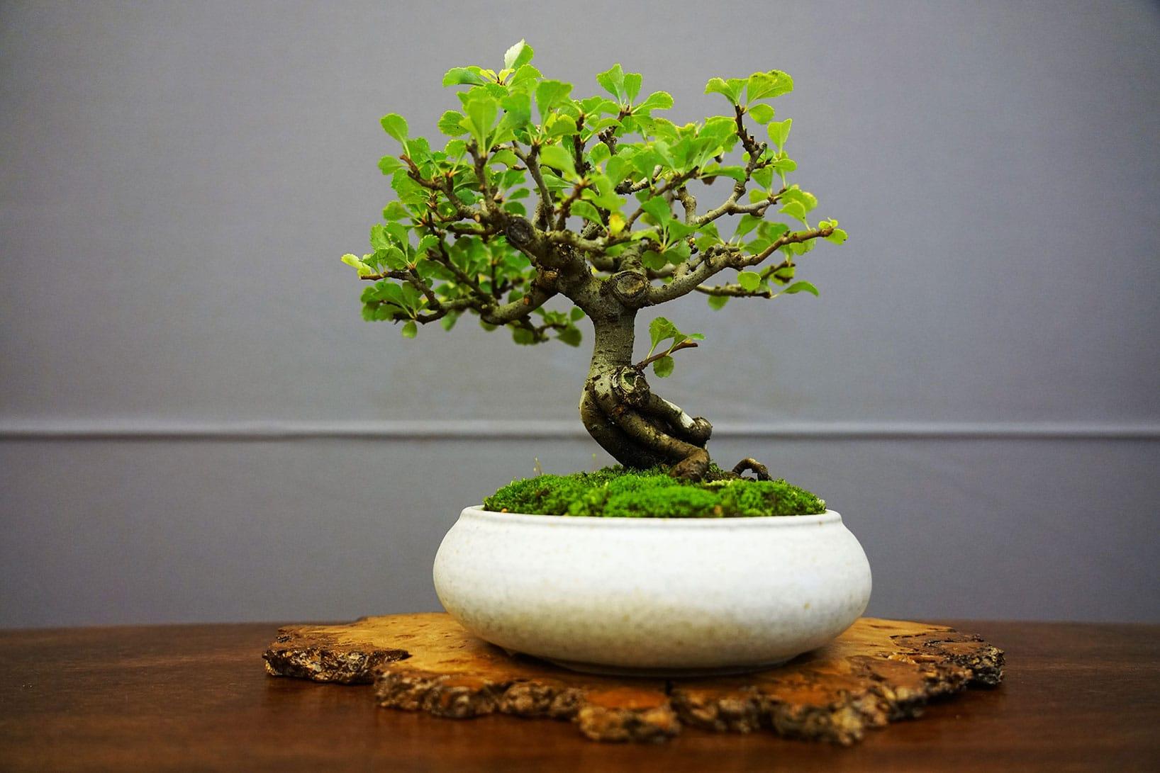 Bonsai-29