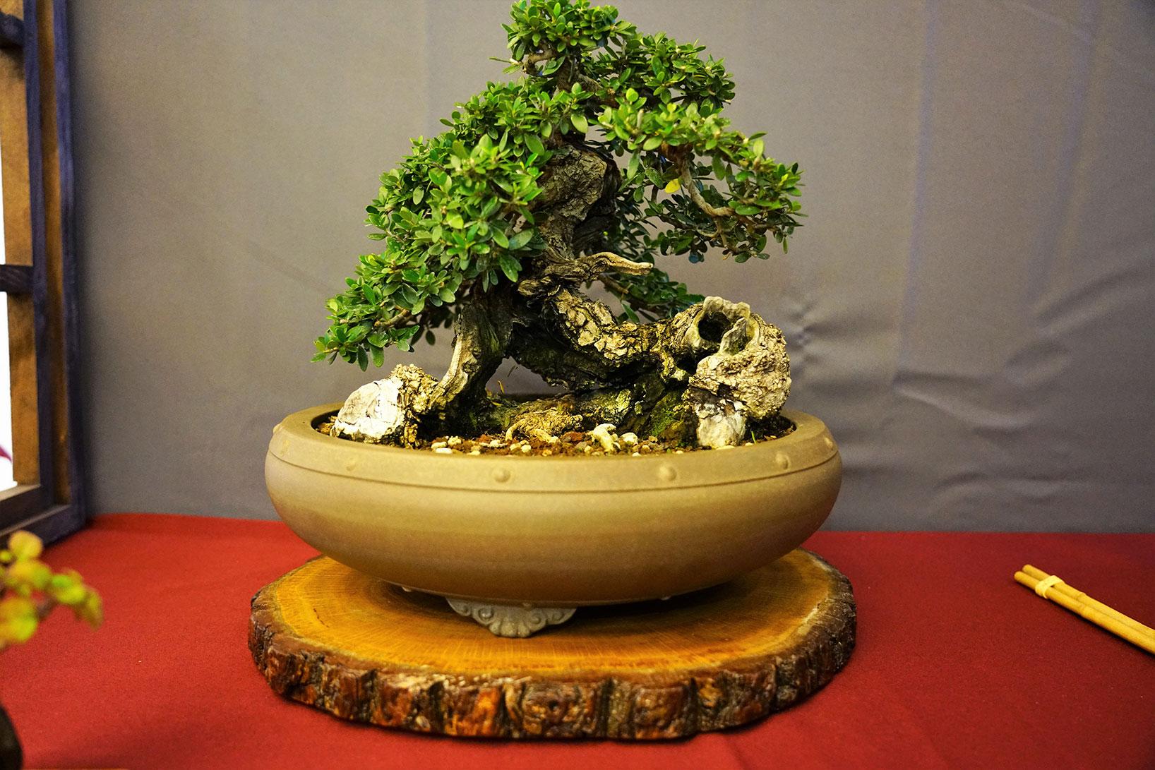 Bonsai-327