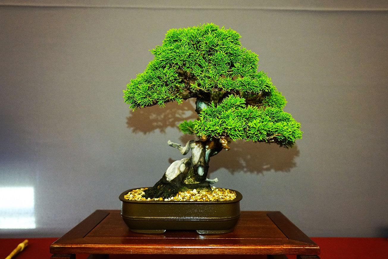 Bonsai-352