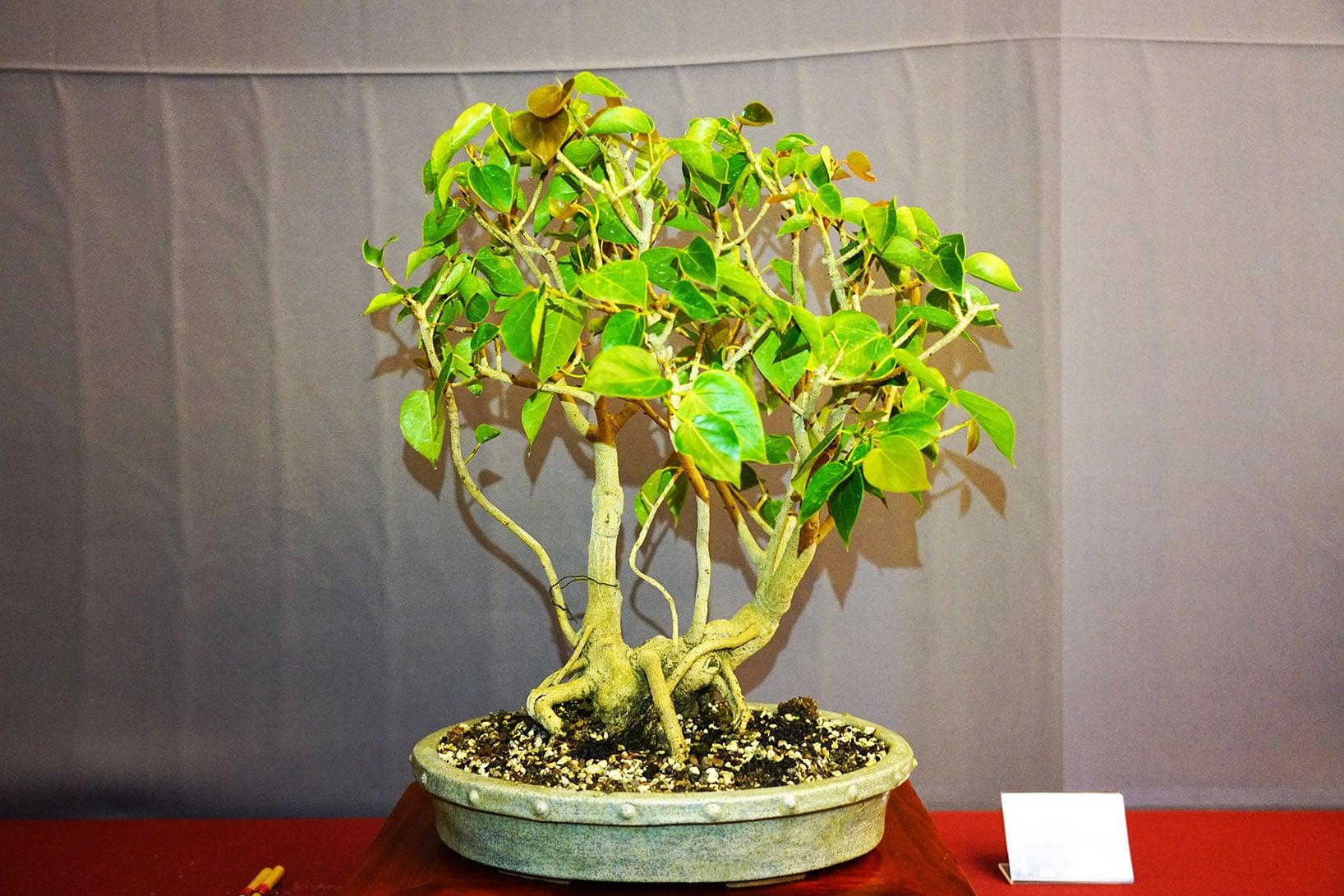 Bonsai-370