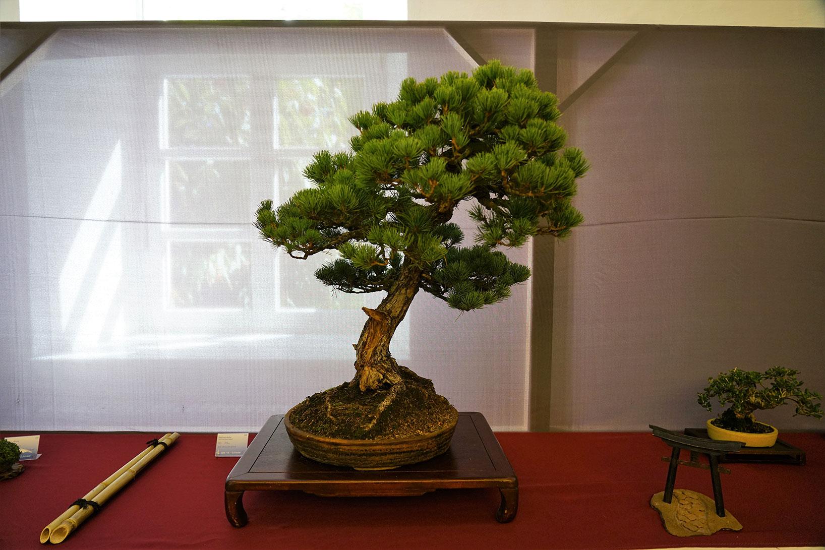 Bonsai-388