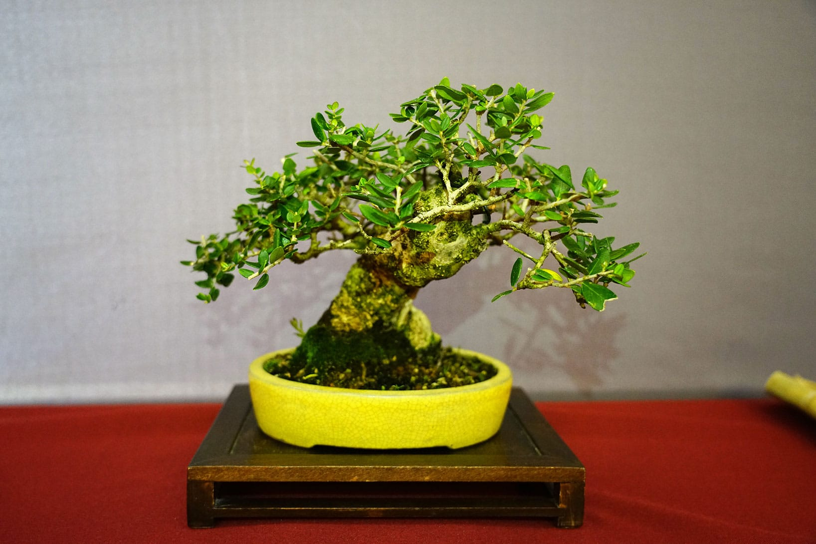 Bonsai-389