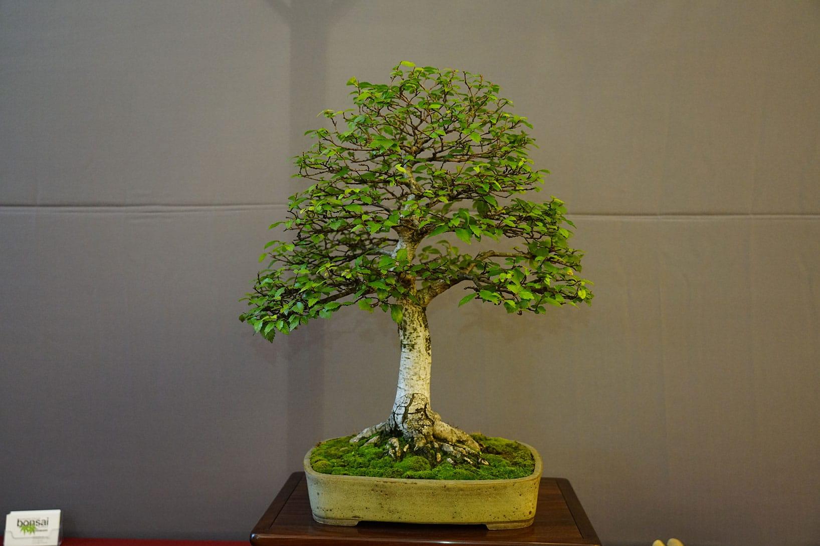 Bonsai-398