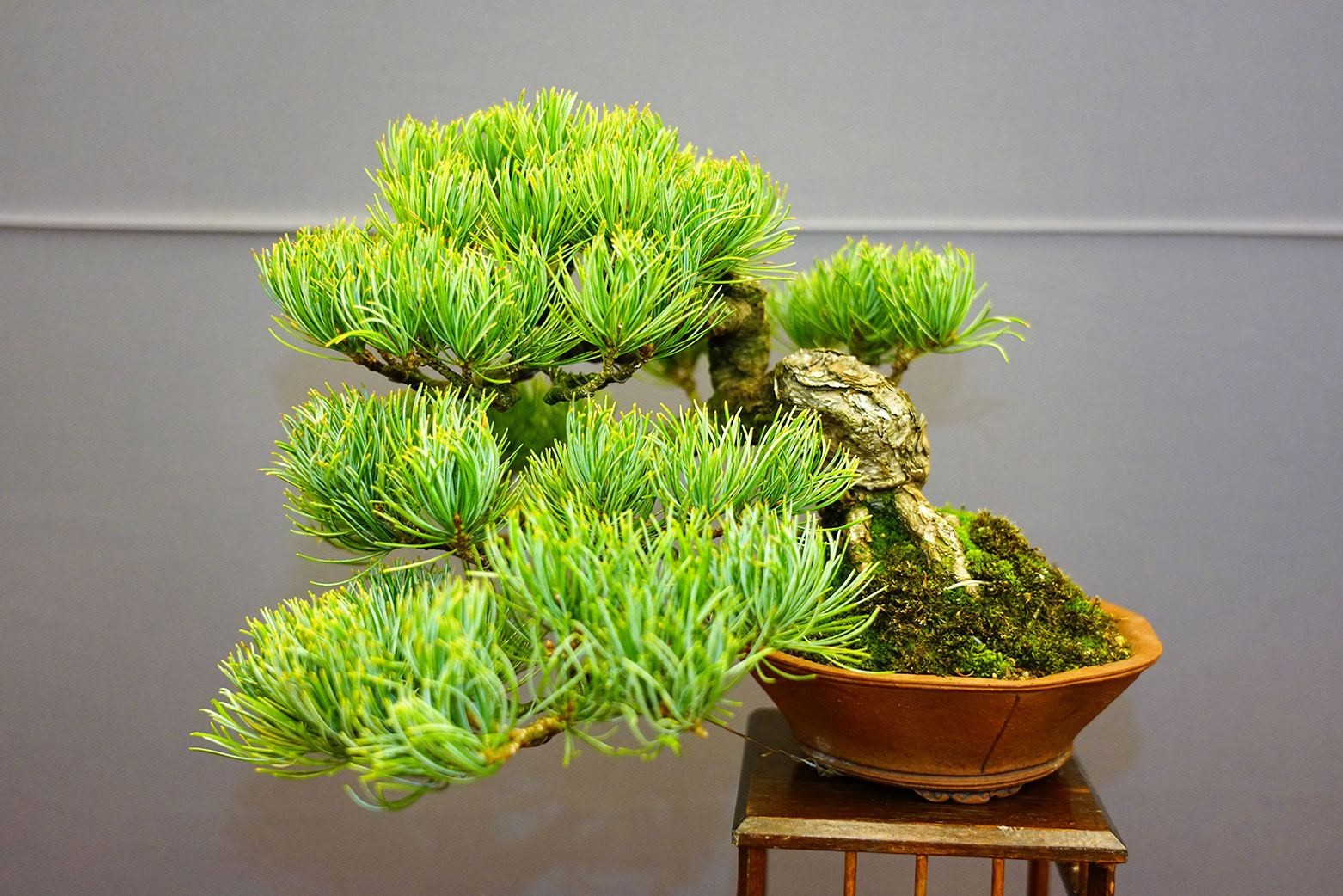 Bonsai-412