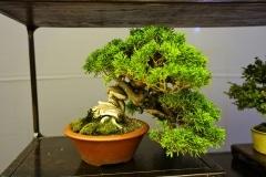 Bonsai-296
