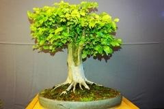Bonsai-331