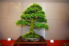 Bonsai-354