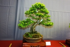 Bonsai-364