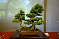 Bonsai-377