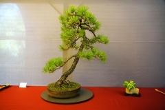 Bonsai-379